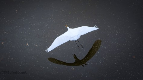 Flight From Above, Great Egret