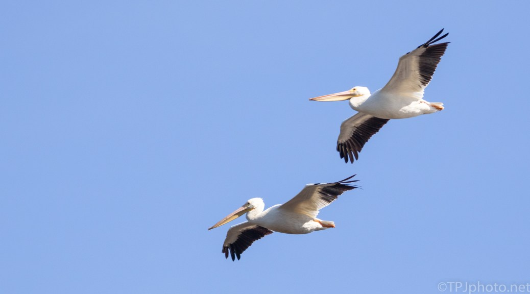 Big Guy's Coming To A Marsh, Pelican