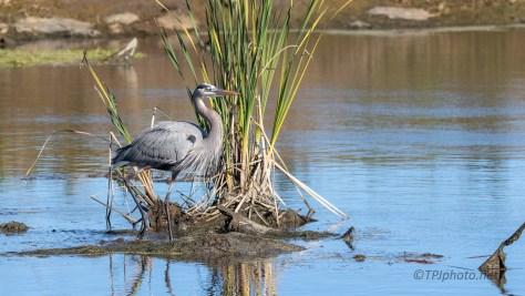 Great Blue By The Ashley River