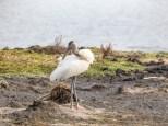 Wood Storks IIn A New Location