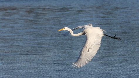 Low And Loud, Great Egret