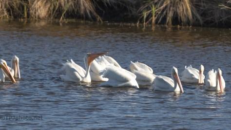 Pushing Food, Pelicans