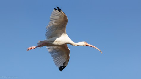 White Ibis, Fast And Close