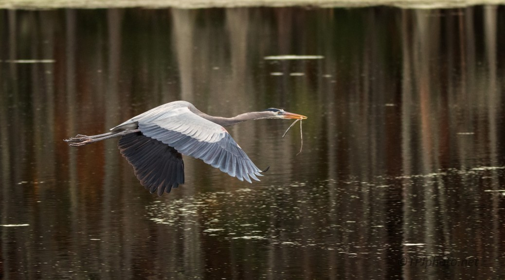 Great Blue On A Mission