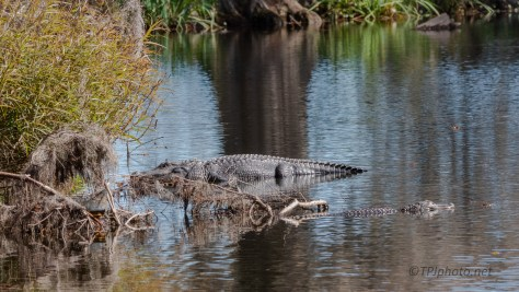 Private Spot Is Getting Crowded, Alligator