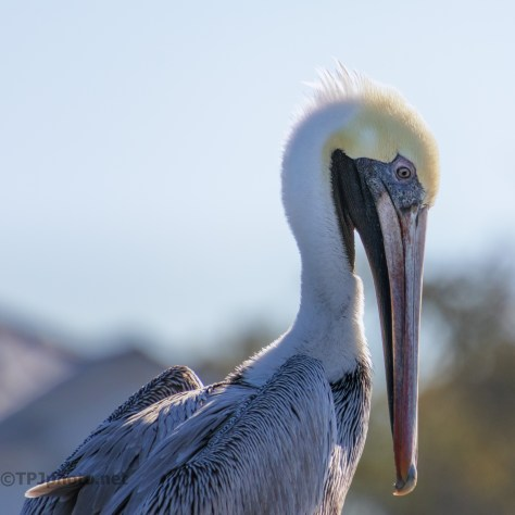 Pelican, Lost In Thought