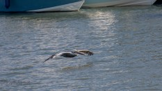 Brown Pelican On A Breeze