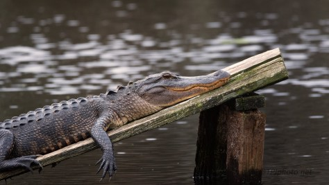 Can't Leave Out The Big Guys, Alligator