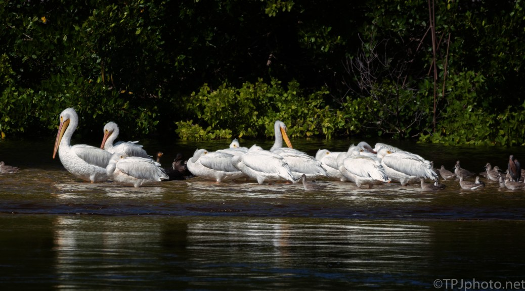 Small Crowd, Pelicans