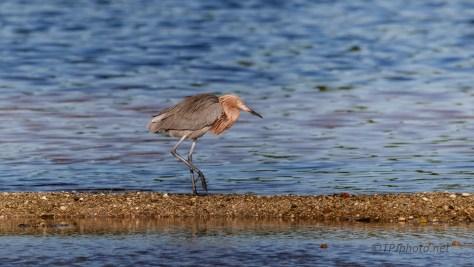 Star Of The Show, Reddish Egret