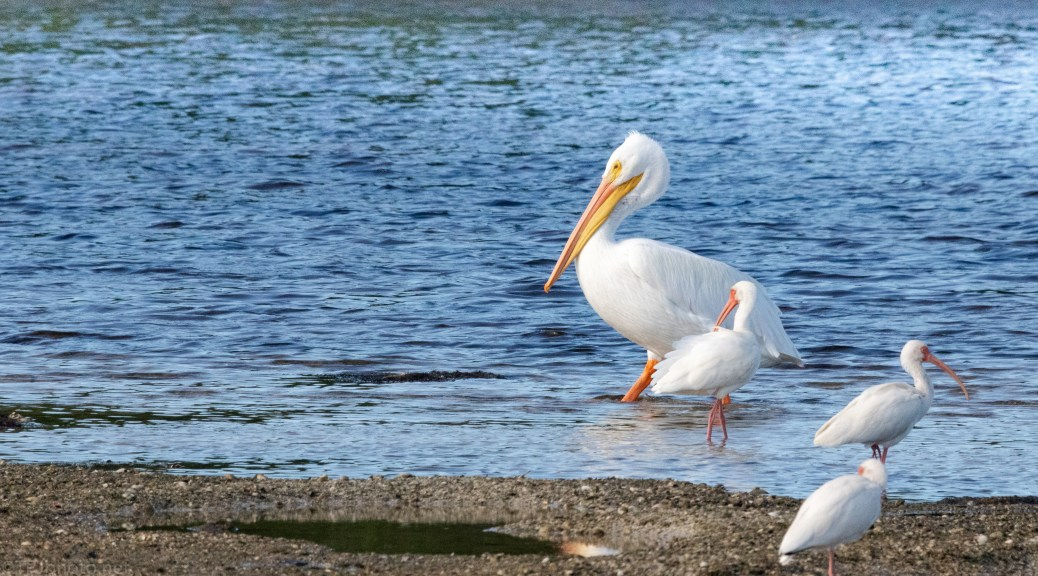 Waddle On By, White Pelican