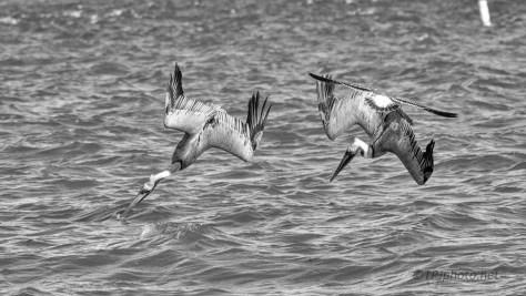 Pelicans Attack A School Of Fish
