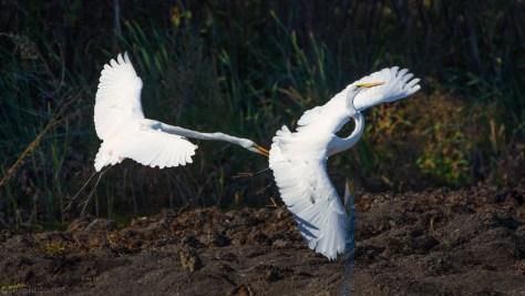 Serious Disagreement, Egrets