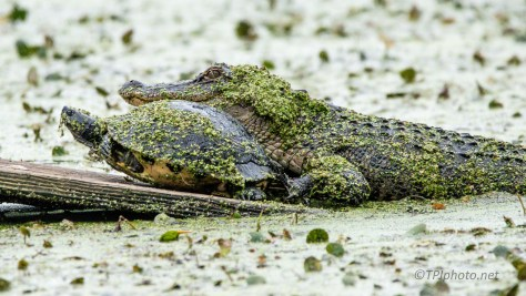 Turtle Is Going Nowhere, Alligator