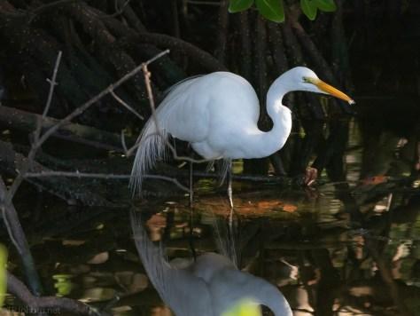 Great Egret, Mangrove Swamp
