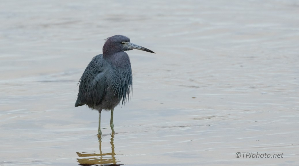 Little Blue Heron, Cloudy Morning