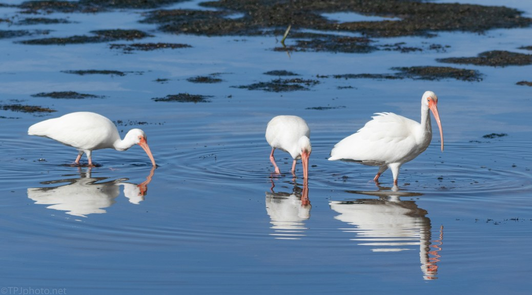Early Ibis