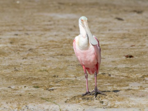Spoonbill With Nothing To Do