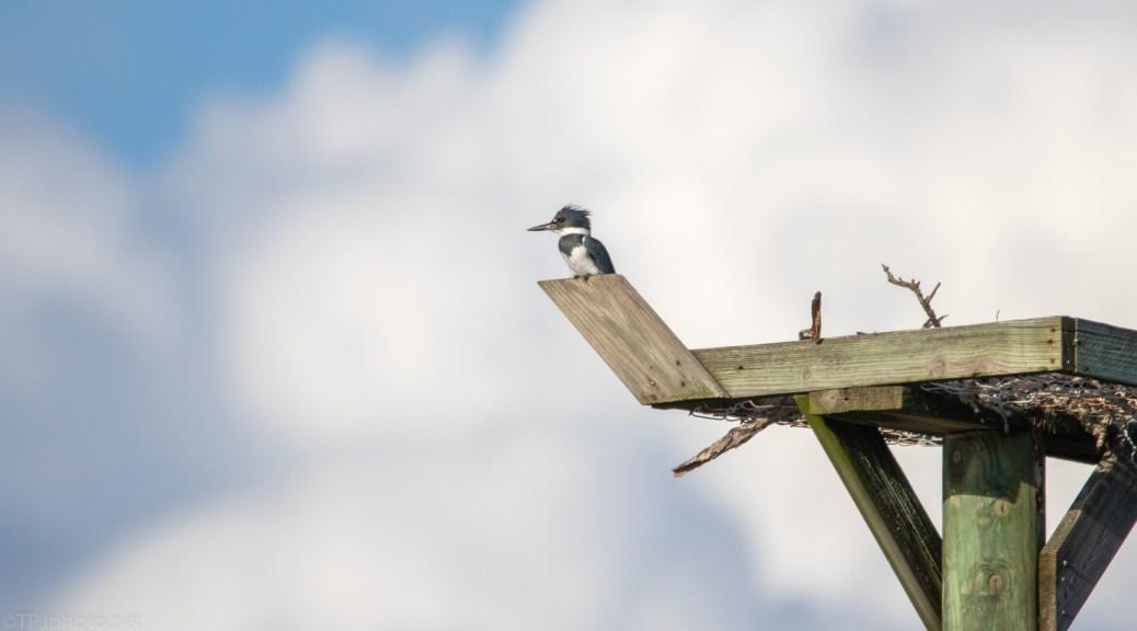 Social Climber, Kingfisher