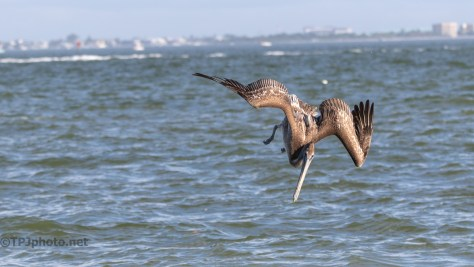 Brown Pelican Dive Sequence