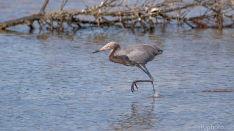 Reddish Egret Working Hard For A Small Fish