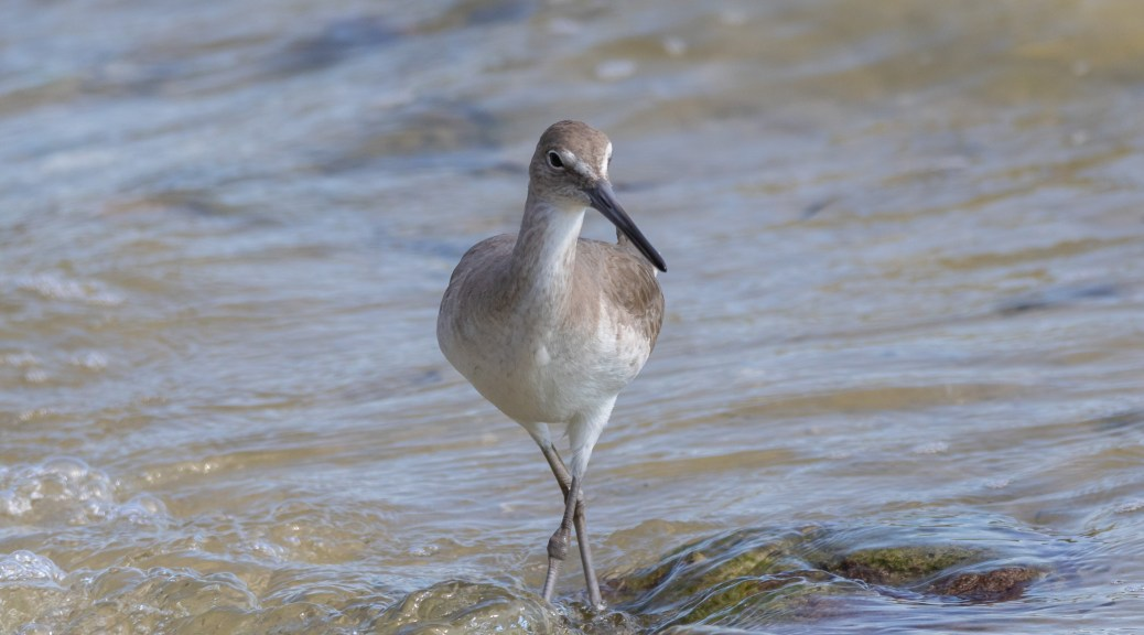 Willet On A Bay