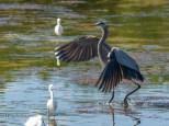 Great Blue Heron, Low Tide