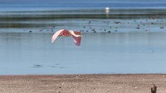 Spoonbill Arriving For The Tide