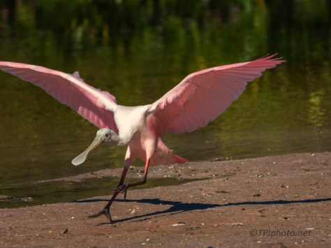 Quick Landing Spoonbill