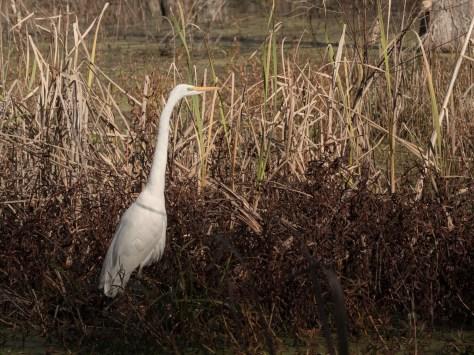 Great Egret In Marsh Grass