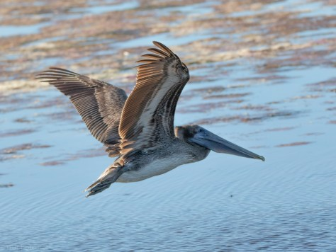 Pelican And A Salt Marsh