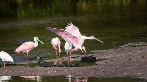 Roseate Spoonbill Joining The Bowl (Group)