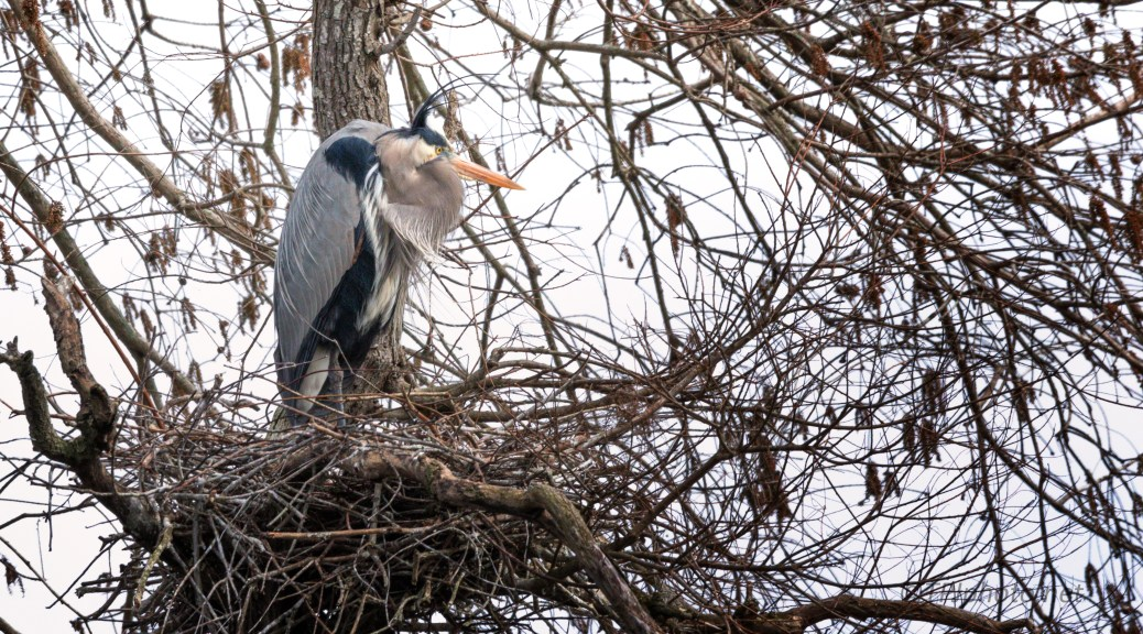 Too Chilly For Home Improvements, Heron