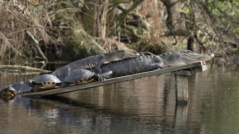 Cuddling Alligators Seems To Be A Trend