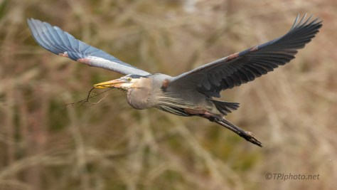 Great Blue Heron Bearing Gifts