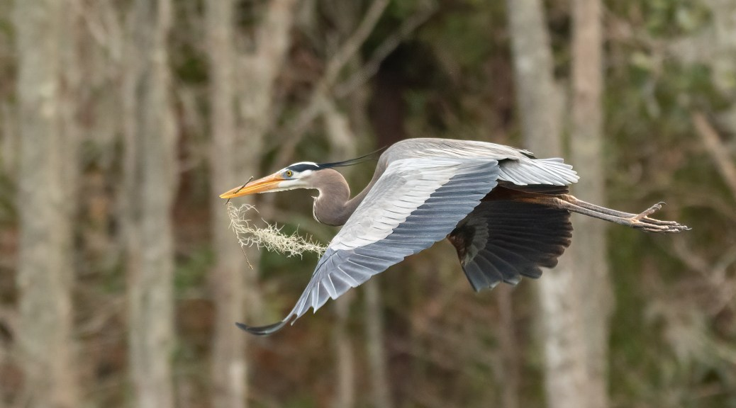 Great Blue Heron Passing Through
