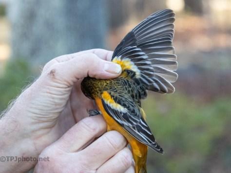 Banding Birds, Baltimore Oriole (2)