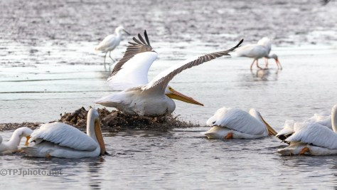 A Muddy Landing, Pelican