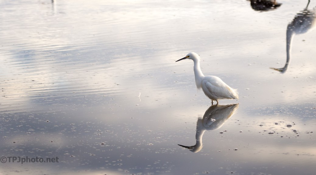 Still Water With A Snowy Egret