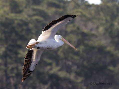 Close And Low White Pelican