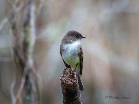Eastern Phoebe In A Swamp