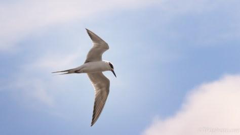 Tern Over A Marsh
