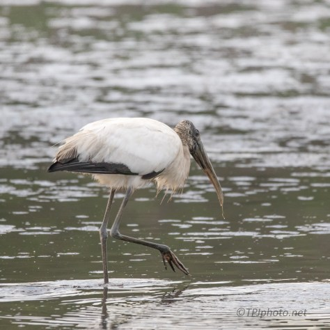 Great Way To Start The Day, Wood Stork