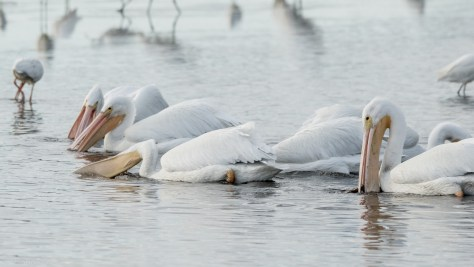 Keep Out Of Their Path, Pelican