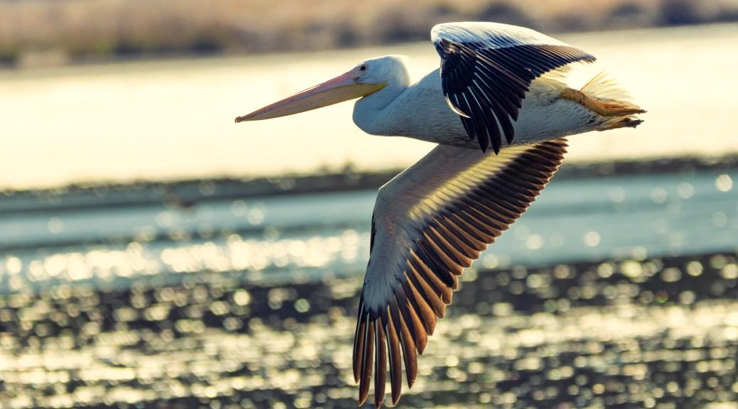 Into The Sun, Pelican