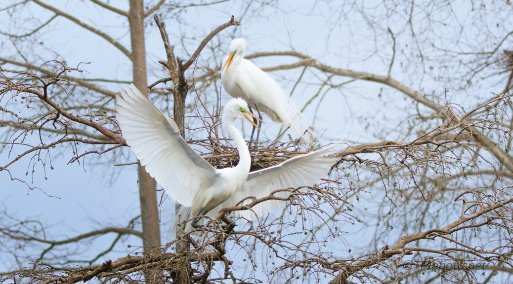 Return To His Mate, Great Egret