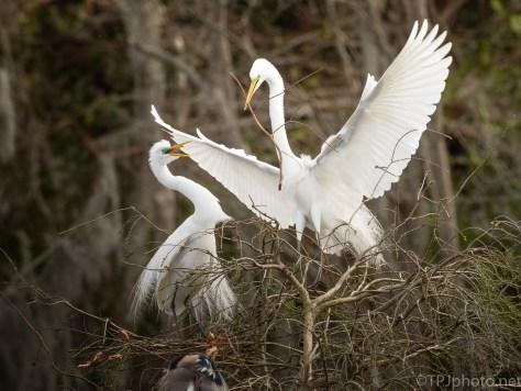 Great Egrets Nesting