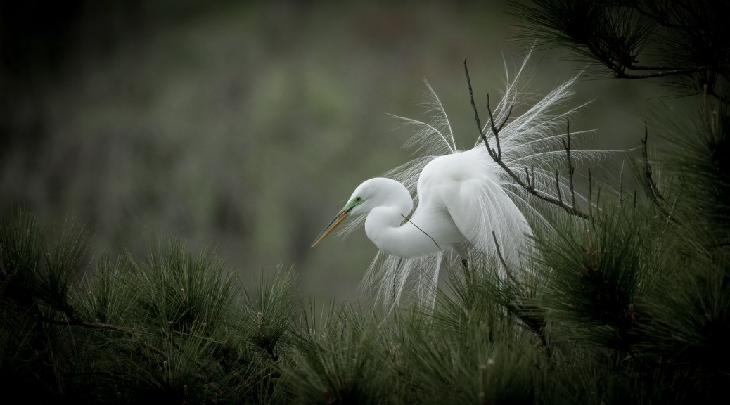 Great Egret, Spring Show