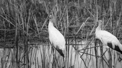 Wood Storks In The Cane