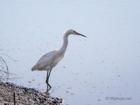 Snowy Egret, Gathering At A Marsh